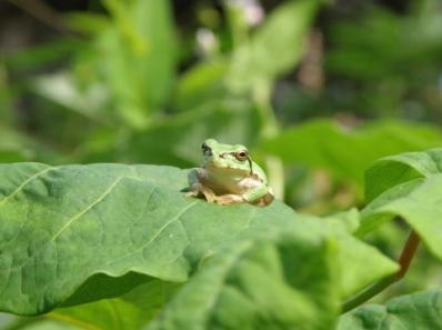 二十四節気 立夏 立夏 二十四節気 七十二候 立夏初候 蛙始めて鳴く 立夏 第十九候 蛙始鳴 5